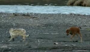 λύκος, επίθεση, βίσονα,
