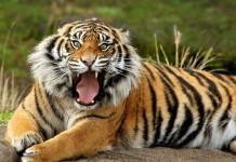 Ολλανδία, τίγρεις, απέδρασαν,