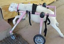 αρνάκι,αναπηρικό καροτσάκι
