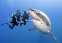 λευκός καρχαρίας, ενυδρείο,