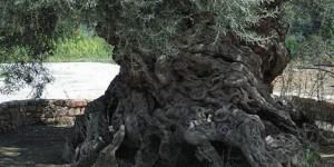 ελαιόδεντρα, Κρήτη,
